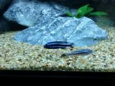 photo https://www.aquariophilie.org/images/article/Acheter-des-Cichlides-sur-Internet_a08272001_9.jpeg