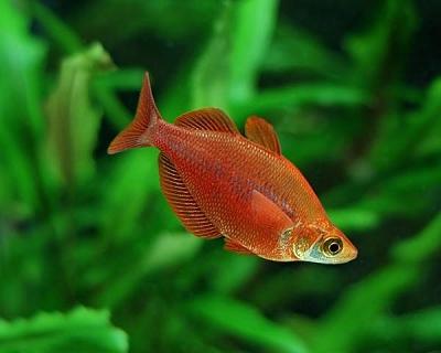 photo https://www.aquariophilie.org/images/article/L_australo_guineen_a08082156_9.jpeg
