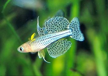 photo https://www.aquariophilie.org/images/article/L_australo_guineen_a08082157_11.jpeg