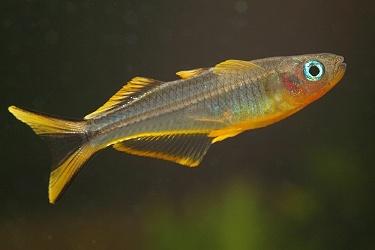 photo https://www.aquariophilie.org/images/article/L_australo_guineen_a08082157_12.jpeg