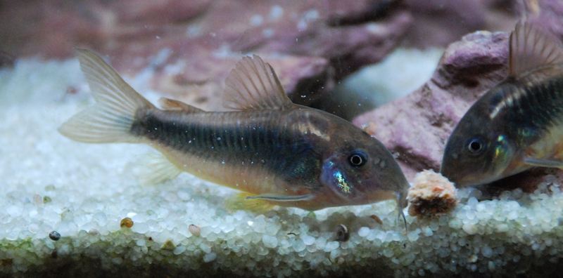 photo http://www.aquariophilie.org/images/article/La-reproduction-des-Corydoras-en-image-_a09072046_1.jpeg