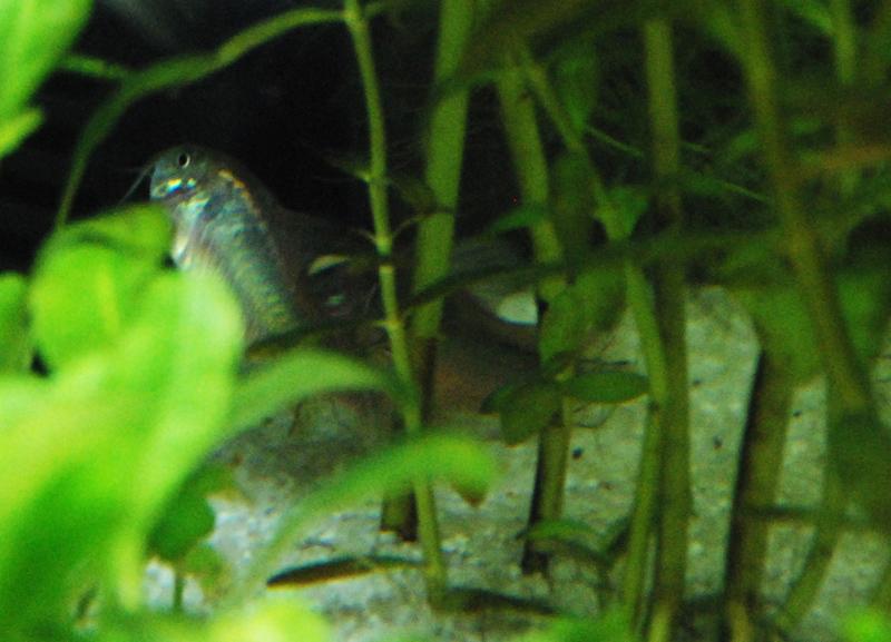 photo https://www.aquariophilie.org/images/article/La-reproduction-des-Corydoras-en-image-_a09072046_2.jpeg