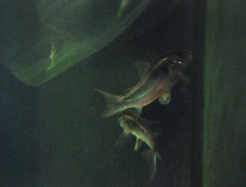 photo https://www.aquariophilie.org/images/article/La-reproduction-des-Corydoras-en-image-_a09072047_3.jpeg