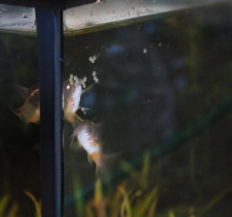 photo https://www.aquariophilie.org/images/article/La-reproduction-des-Corydoras-en-image-_a09072047_4.jpeg
