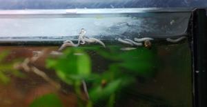 photo https://www.aquariophilie.org/images/article/Les-planaires-comment-s-en-debrasser-Methode-simple-et-efficace-_a10242213_1.png