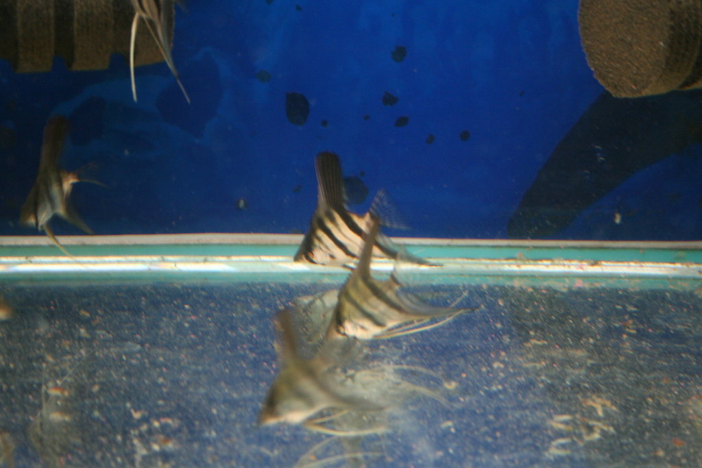 photo https://www.aquariophilie.org/images/article/Maintenance_et_elevage_de_Pterophyllum_scalare_a04231610_3.jpeg