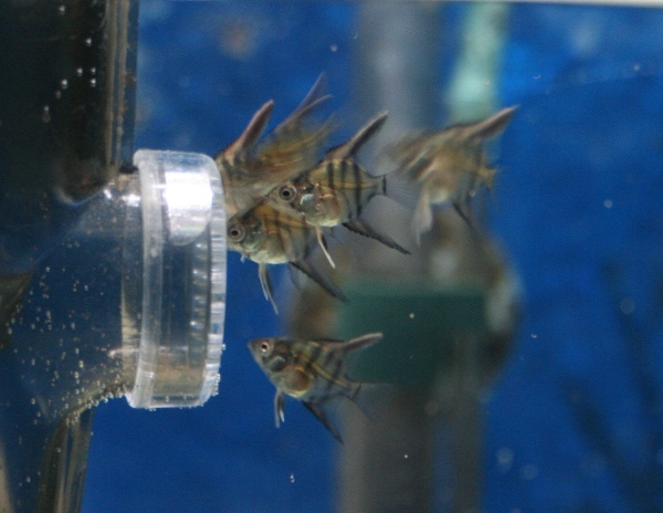 photo https://www.aquariophilie.org/images/article/Maintenance_et_elevage_de_Pterophyllum_scalare_a04231613_2.jpeg