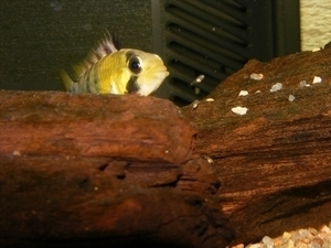 photo http://www.aquariophilie.org/images/article/Maintenance_et_reproduction_d_Apistogramma_baenschi_a04120540_6.jpeg