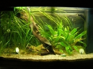 photo http://www.aquariophilie.org/images/article/Maintenance_et_reproduction_d_Apistogramma_baenschi_a04120917_11.jpeg