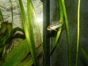 photo http://www.aquariophilie.org/images/article/Maintenance_et_reproduction_d_Apistogramma_baenschi_a04120940_13.jpeg