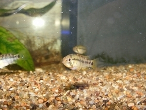 photo http://www.aquariophilie.org/images/article/Maintenance_et_reproduction_d_Apistogramma_baenschi_a04121013_17.jpeg