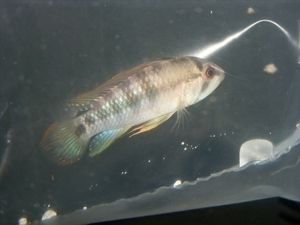 photo http://www.aquariophilie.org/images/article/Maintenance_et_reproduction_d_Apistogramma_baenschi_a05091826_19.jpeg
