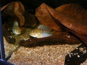 photo http://www.aquariophilie.org/images/article/Maintenance_et_reproduction_d_Apistogramma_baenshi_a04111804_0.jpeg