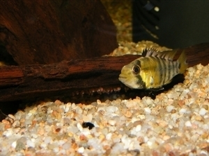 photo http://www.aquariophilie.org/images/article/Maintenance_et_reproduction_d_Apistogramma_baenshi_a04120447_3.jpeg