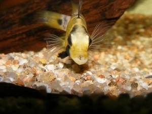photo http://www.aquariophilie.org/images/article/Maintenance_et_reproduction_d_Apistogramma_baenshi_a04120524_5.jpeg