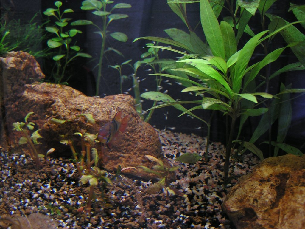 photo https://www.aquariophilie.org/images/article/Mikrogeophagus-ramirezi-reproduction-en-image_a04012225_0.jpeg