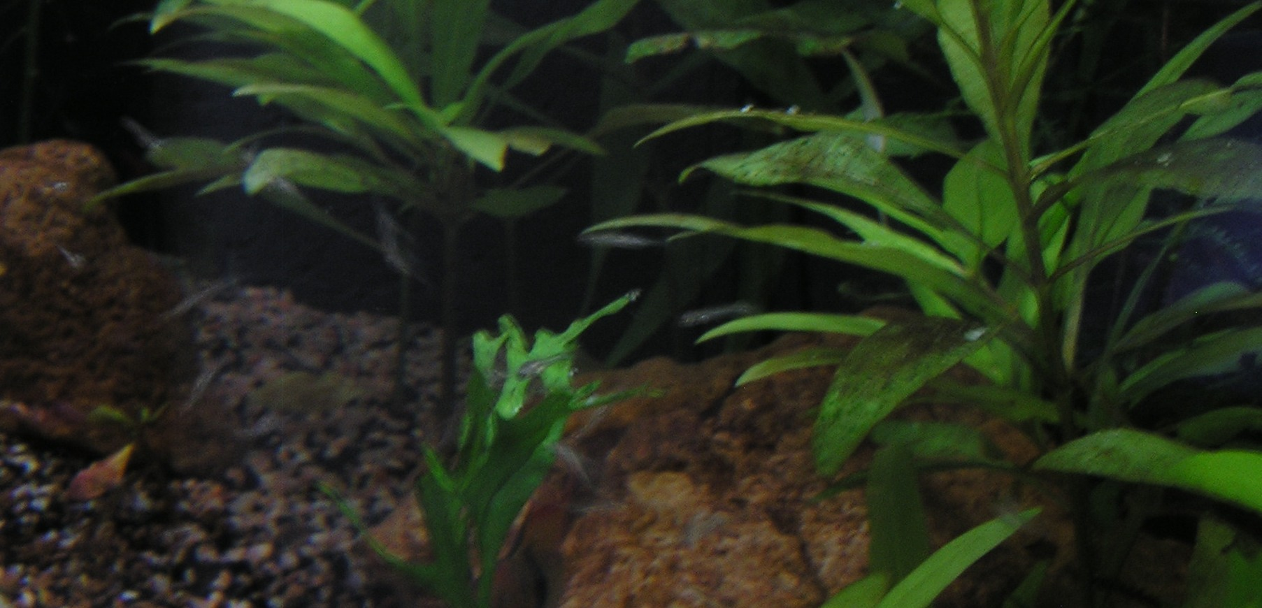photo https://www.aquariophilie.org/images/article/Mikrogeophagus-ramirezi-reproduction-en-image_a04041006_0.jpeg