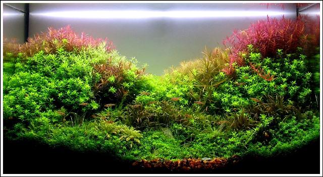 photo https://www.aquariophilie.org/images/article/Mise_en_route_et_evolution_d_un_bac_plante_a04272104_13.jpeg