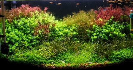 photo https://www.aquariophilie.org/images/article/Mise_en_route_et_evolution_d_un_bac_plante_a04272111_12.jpeg