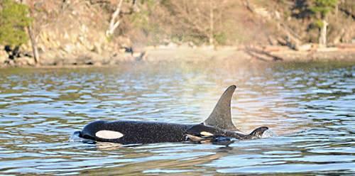 https://www.aquariophilie.org/images/naissance-orques-en-danger.jpg