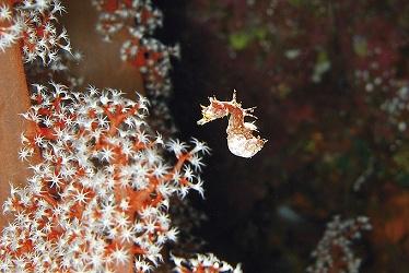 Hippocampus debelius, bestofdiving.info, IKAN-Unterwasserarchiv