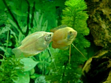 Photo de Thomas TORRES : couple de gouramis