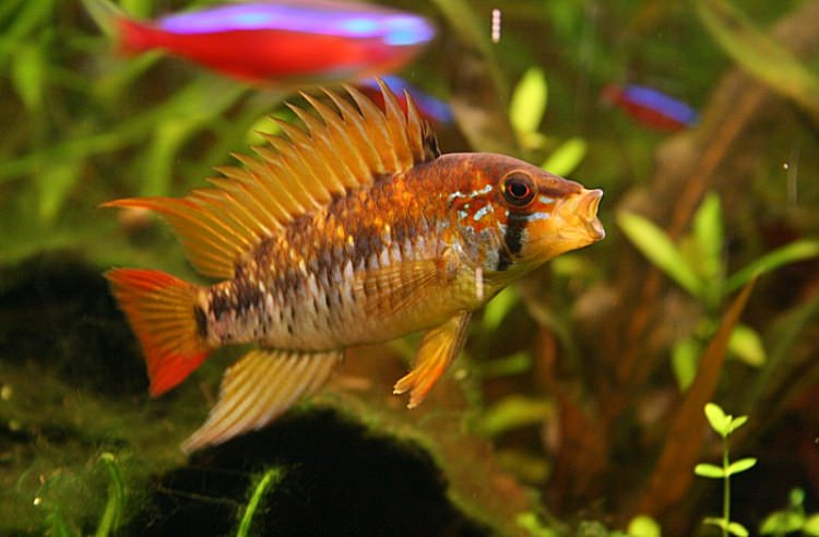Photo Apistogramma viejita (Photo Gabrielgab)