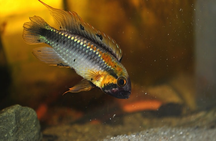 Photo Apistogramma sp. Abacaxis (Photo Mhymir)