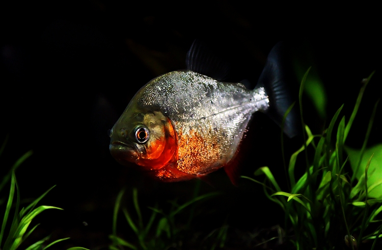 Photo Pygocentrus nattereri par Regifishfocus