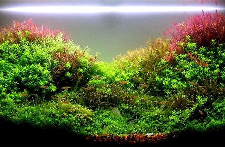 aquariophilie et forum pour aquarium poisson eau douce r cifal. Black Bedroom Furniture Sets. Home Design Ideas