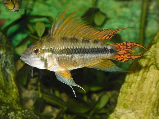 Photo Apistogramma cacatuoides