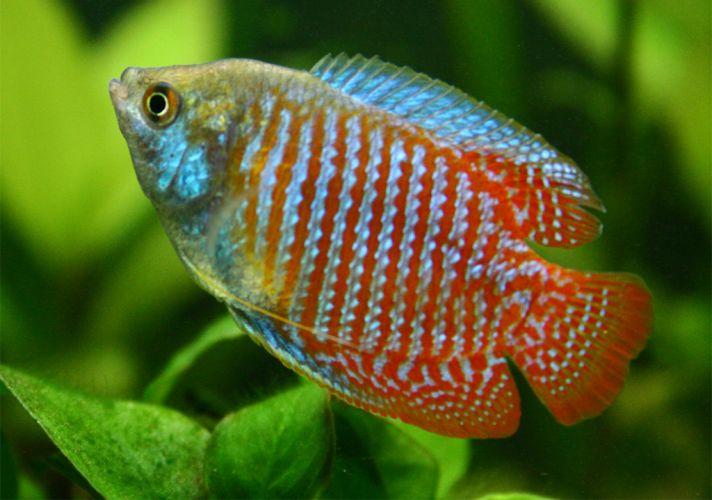 Trichogaster lalius colisa nain gourami arc en ciel for Best freshwater aquarium fish combination