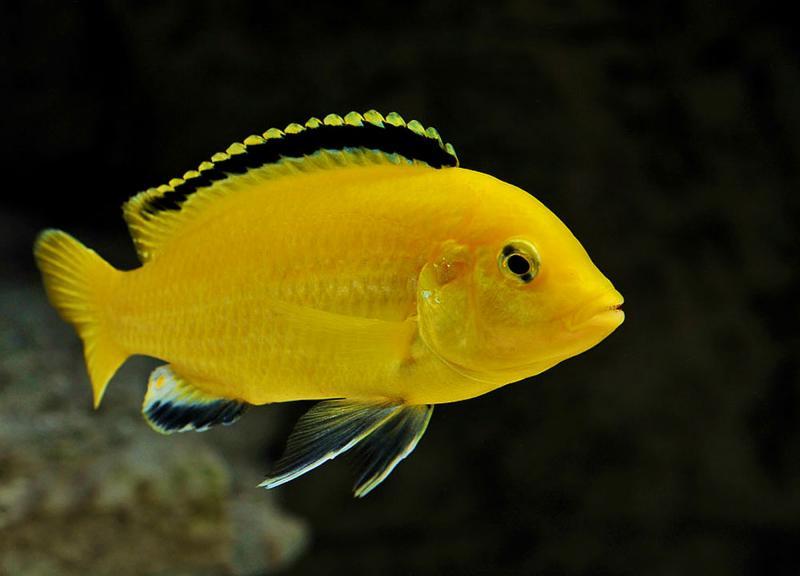 labidochromis caeruleus labido jaune blue streak hap