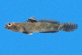 Aboma etheostoma par © Copyright Ross Robertson / 2006