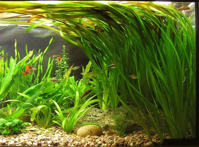 plante aquatique vallisneria