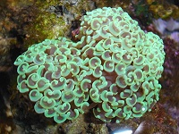 Photo de Euphyllia Ancora