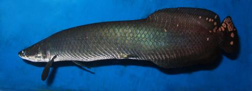Arapaima gigas par Association Aquariophilie.org