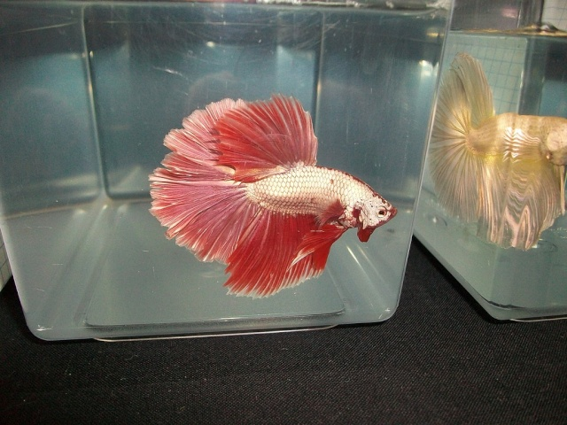 betta-red-dragon.jpg